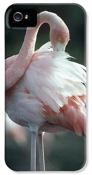 Flamingo iPhone 5 Cases - Greater Flamingo Preening Galapagos iPhone 5 Case by Tui De Roy