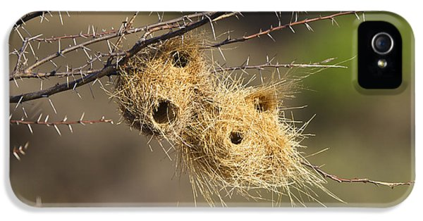 Passeridae iPhone 5 Cases - Grey-headed Social-weaver Nests Tanzania iPhone 5 Case by Konrad Wothe