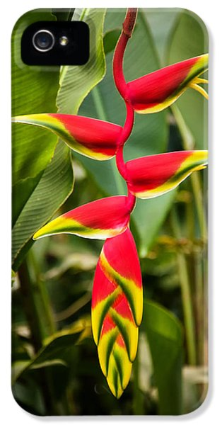 Gil iPhone 5 Cases - Heliconia iPhone 5 Case by Jess Kraft