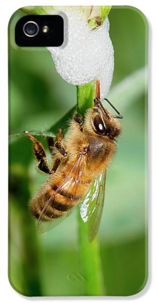 Honey Bee Drinking From Cuckoo-spit IPhone 5 / 5s Case by Dr. John Brackenbury