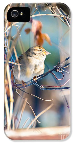 Passeridae iPhone 5 Cases - House sparrow bird surrounded by branches iPhone 5 Case by Gregory DUBUS