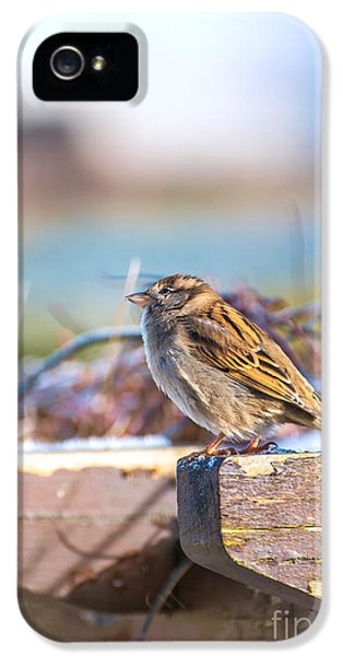 Passeridae iPhone 5 Cases - House sparrow bird with copy space iPhone 5 Case by Gregory DUBUS