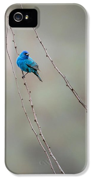 Indigo Bunting IPhone 5 / 5s Case by Bill Wakeley