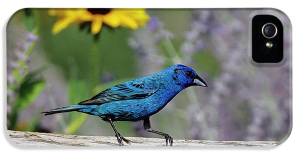 Indigo Bunting (passerina Cyanea IPhone 5 / 5s Case by Richard and Susan Day