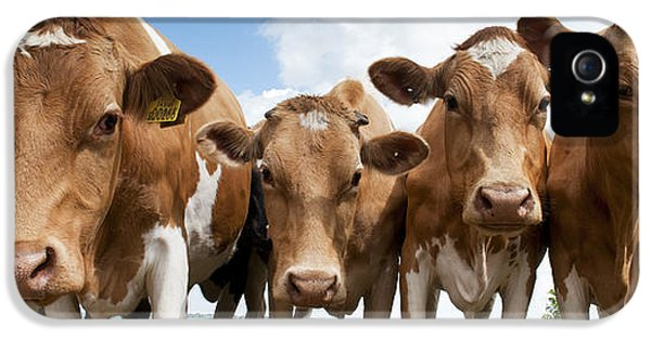 Livestock iPhone 5 Cases - Inquisitive Cows iPhone 5 Case by Tim Gainey