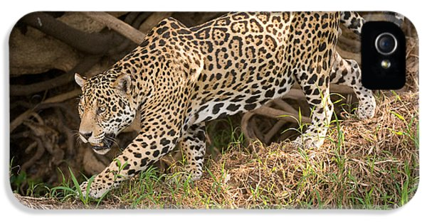 Meeting iPhone 5 Cases - Jaguar Panthera Onca Foraging iPhone 5 Case by Panoramic Images