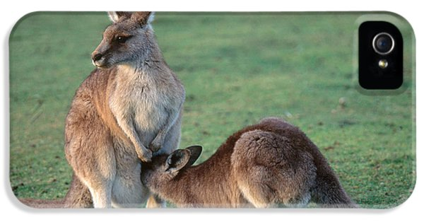 Kangaroo With Joey IPhone 5 / 5s Case by Gregory G. Dimijian, M.D.