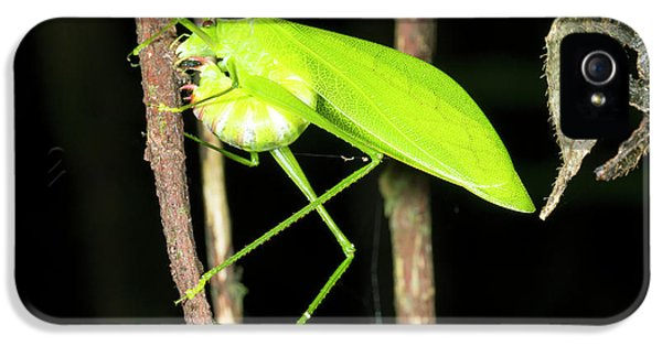 Katydid Laying Eggs IPhone 5 / 5s Case by Dr Morley Read
