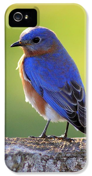 State Bird iPhone 5 Cases - Lenores Bluebird iPhone 5 Case by Robert Frederick
