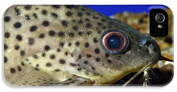 Leopard Sailfin Pleco IPhone 5 / 5s Case by Nigel Downer