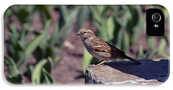 Passer Domesticus iPhone 5 Cases - Little Sparrow iPhone 5 Case by Maria Angelica Maira