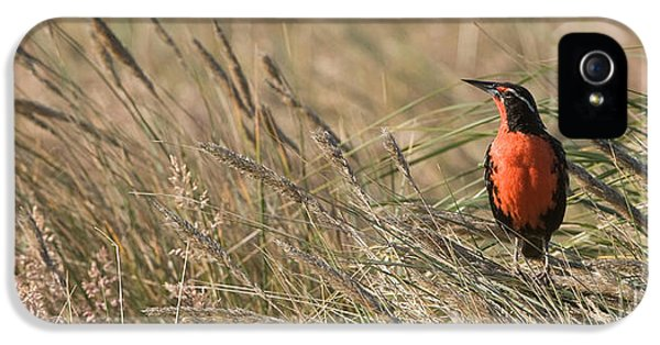Long-tailed Meadowlark IPhone 5 / 5s Case by John Shaw