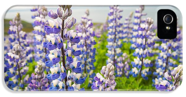 Lupin iPhone 5 Cases - Lupines Lupinus nootkatensis flowers in Iceland iPhone 5 Case by Matthias Hauser