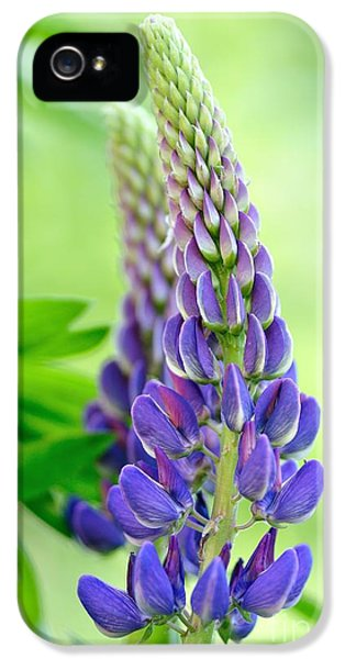 Lupin iPhone 5 Cases - Lupinus polyphyllus - lupin flower iPhone 5 Case by Martin Capek