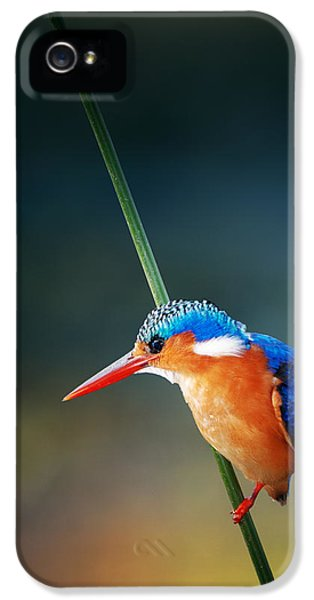 Beak iPhone 5 Cases - Malachite Kingfisher iPhone 5 Case by Johan Swanepoel