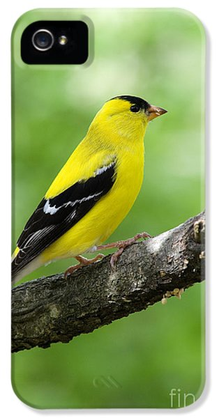 State Bird iPhone 5 Cases - Male American Goldfinch iPhone 5 Case by Thomas R Fletcher