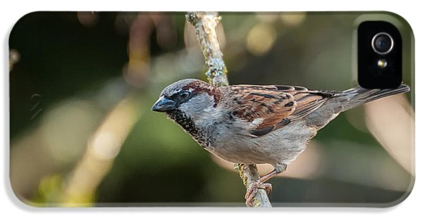 Passeridae iPhone 5 Cases - Male House Sparrow iPhone 5 Case by Rich Leighton