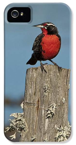 Male Long-tailed Meadowlark On Fencepost IPhone 5 / 5s Case by John Shaw