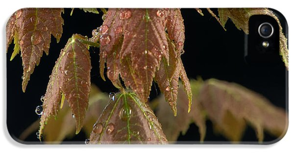 Environment Concept Art iPhone 5 Cases - Maple leaves with water drops iPhone 5 Case by Paul Freidlund