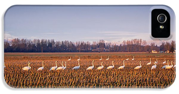 Bird Watcher iPhone 5 Cases - March of the Swans iPhone 5 Case by Mary Lee Dereske