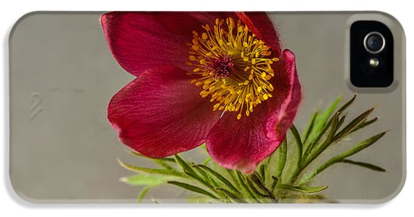 Pulsatilla Vulgaris iPhone 5 Cases - Messenger of Spring iPhone 5 Case by Christine Czernin Morzin