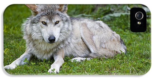 Mexican Gray Wolf IPhone 5 / 5s Case by Sebastian Musial