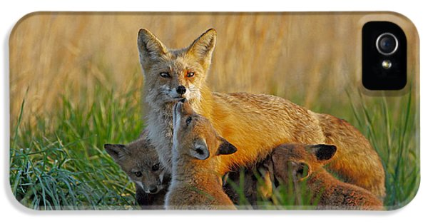 Young Foxes iPhone 5 Cases - Mother Fox and Kits iPhone 5 Case by William Jobes