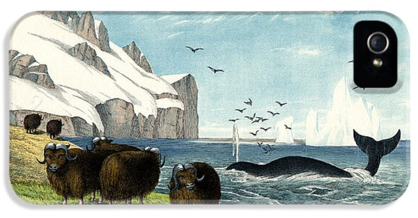 Nl iPhone 5 Cases - Musk Ox iPhone 5 Case by Splendid Art Prints