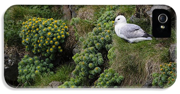 Arctic Rose iPhone 5 Cases - Northern Fulmar And Roseroot iPhone 5 Case by John Shaw