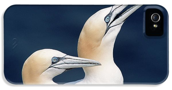 Northern Gannets Newfoundland IPhone 5 / 5s Case by Yva Momatiuk John Eastcott
