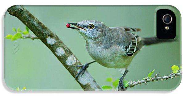 Northern Mockingbird (mimus Polyglottos IPhone 5 / 5s Case by Larry Ditto