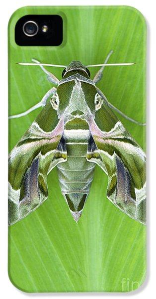 Abdomen iPhone 5 Cases - Oleander Hawk moth iPhone 5 Case by Tim Gainey