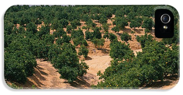 Andalusia iPhone 5 Cases - Orange Groves In A Field, Andalusia iPhone 5 Case by Panoramic Images