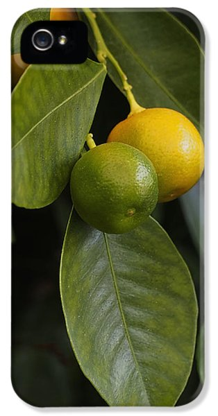 Green iPhone 5 Cases - Oranges Ripening on the Tree iPhone 5 Case by Rona Black