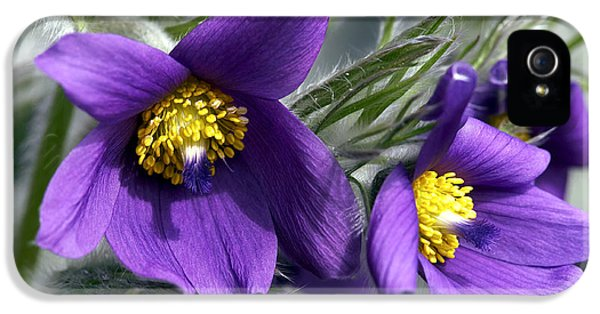 Pasque Flower iPhone 5 Cases - Pasque Flower iPhone 5 Case by Sharon  Talson