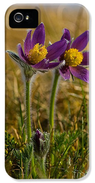 Common Pasque Flower iPhone 5 Cases - Pasque Flowers iPhone 5 Case by Steen Drozd Lund