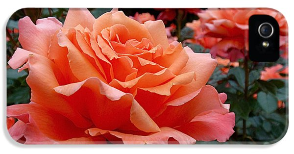 Peach Roses IPhone 5 / 5s Case by Rona Black