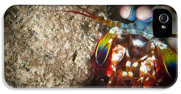 Arthropod iPhone 5 Cases - Peacock Mantis Shrimp Peering iPhone 5 Case by Steve Jones