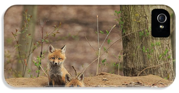 Fox Kits iPhone 5 Cases - Peeking from the fox hole iPhone 5 Case by Everet Regal