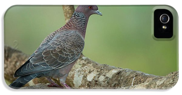 Picazuro Pigeon (patagioenas Picazuro IPhone 5 / 5s Case by Pete Oxford