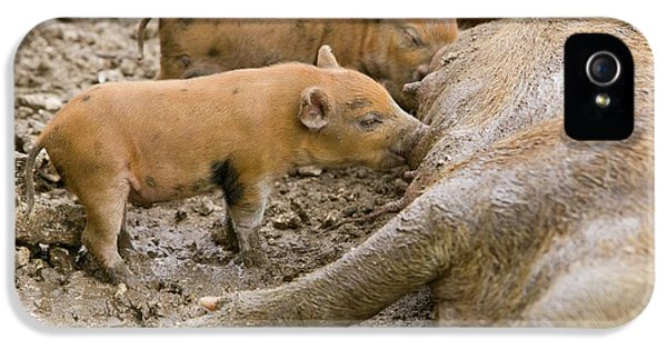 Pigs Reared For Pork On Tuvalu IPhone 5 / 5s Case by Ashley Cooper