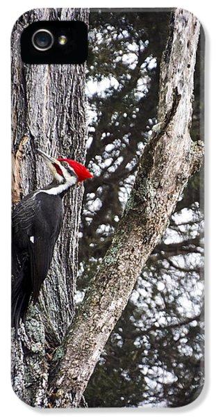 Bird Watcher iPhone 5 Cases - Pileated Woodpecker  iPhone 5 Case by Heather Applegate
