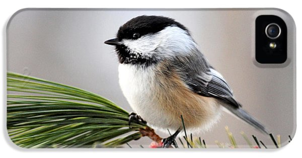 State Bird iPhone 5 Cases - Pine Chickadee iPhone 5 Case by Christina Rollo