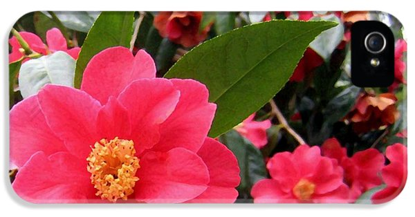 Shore Acres iPhone 5 Cases - Pink Camellias iPhone 5 Case by Will Borden