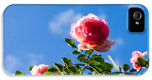 Roses iPhone 5 Cases - Pink Roses - Featured 3 iPhone 5 Case by Alexander Senin
