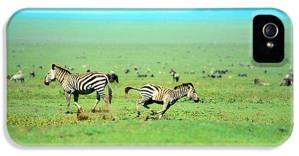 Playfull Zebras IPhone 5 / 5s Case by Sebastian Musial