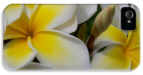 Yellow And White Plumeria Flower Frangipani iPhone 5 Cases - Plumeria Mass iPhone 5 Case by Felecia Clarke