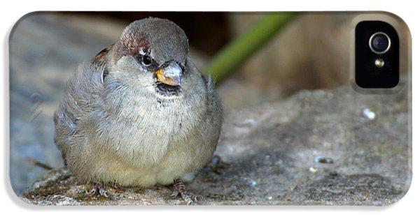 Passeridae iPhone 5 Cases - Posing House Sparrow on a Rock II iPhone 5 Case by Richard Eijkenbroek