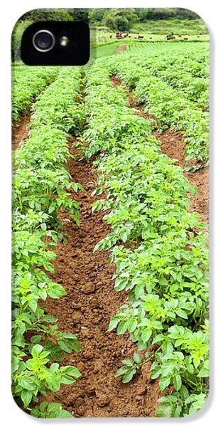 Potatoes Growing At Washingpool Farm IPhone 5 / 5s Case by Ashley Cooper