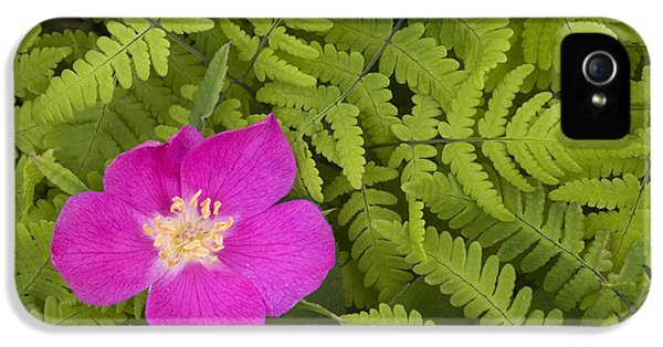 Prickly Rose iPhone 5 Cases - Prickly Rose Bloom In Ferns Far North iPhone 5 Case by Carl R. Battreall